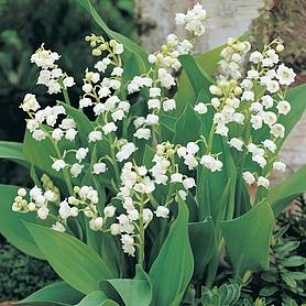 lily of the valley white