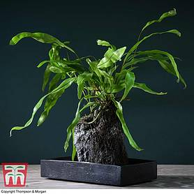 Microsorum Plant on Lava Rock in a Tray (Lova plant) (House Plant)