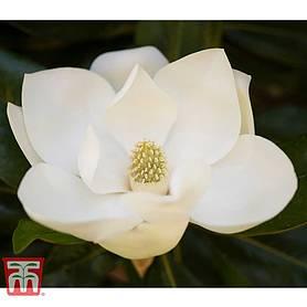 Magnolia Shrubs For Sale In The Uk Thompson Morgan
