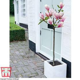 magnolia red lucky patio standard