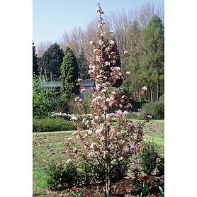 crab apple red obelisk