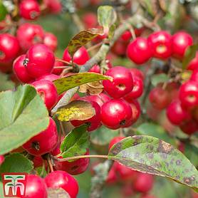 crab apple red sentinel