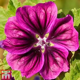 malva magic hollyhock