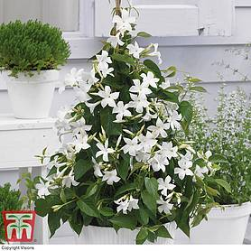 mandevilla sanderi bloom bellsreg white
