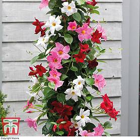 mandevilla sanderi bloom bellsreg trio