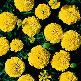 marigold boy o boy yellow