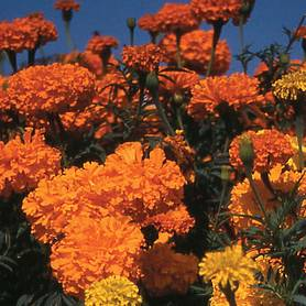 marigold crackerjack mixed