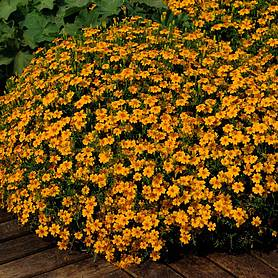 marigold golden gem