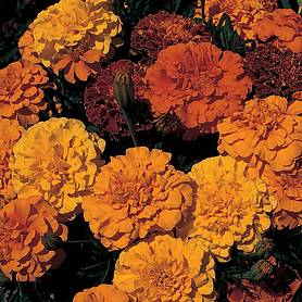 marigold queen series mixed