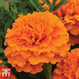 marigold boy o boy orange