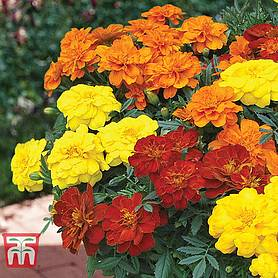marigold french durango improved