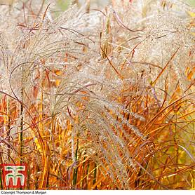 Miscanthus 'Indian Summer'