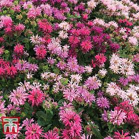 monarda censationtrade confetti