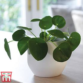 chinese money plant  gift