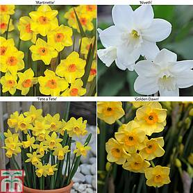 Narcissus 'Dwarf Collection'
