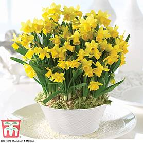 Narcissus 'Tete a Tete' - Gift