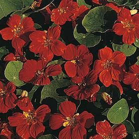nasturtium empress of india