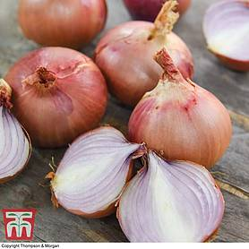 onion isobel rose