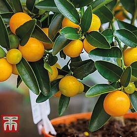 fruiting orange bush