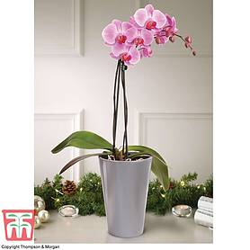 phalaenopsis vienna in silver ceramic pot
