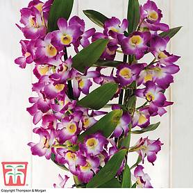 orchid star class lilac