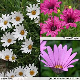 osteospermum collection hardy