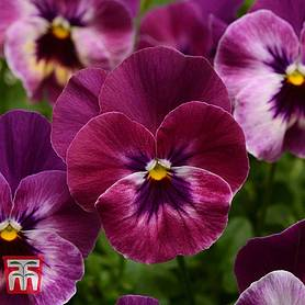 pansy coolwave raspberry