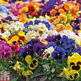 pansy summertime mix garden ready