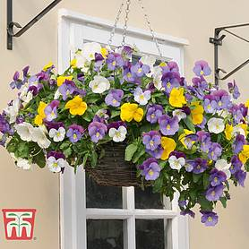 pansy plentifall mixed