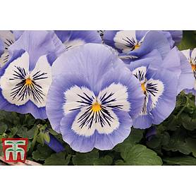 pansy mystique blue halo