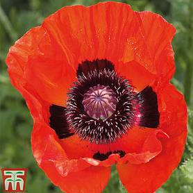 poppy great scarlet