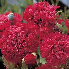 poppy red pom poms
