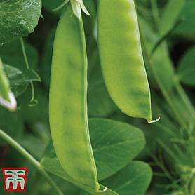 pea oregon sugar pod mangetout