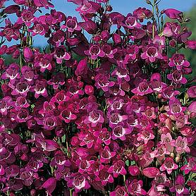 penstemon miniature bells