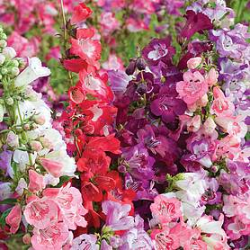 penstemon cobaea wedding bells