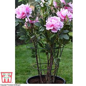 peony  herbaceous plant frame