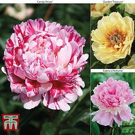 Peony 'Trio' Collection
