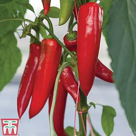chilli pepper amboy grafted