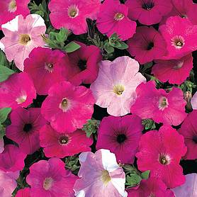 petunia waves mixed f hybrid
