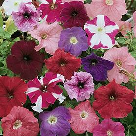 petunia colour parade f hybrid
