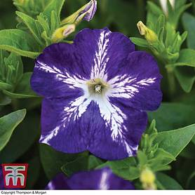 petunia surfinia blue and white star