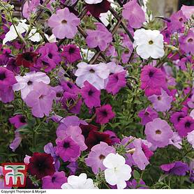 petunia tickled mixed