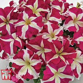 petunia successreg hd rose star