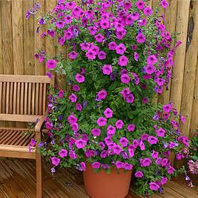 petunia hybrida purple tower f hybrid