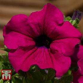 petunia trailing surfinia purple