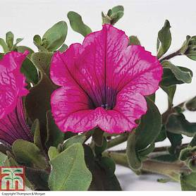 petunia trailing surfinia hot pink