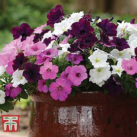 petunia wave fly me to the moon