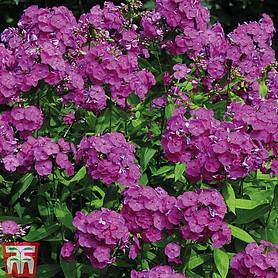 phlox paniculata fragrant collection