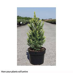 picea glauca rainbows end