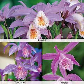 pleione orchid collection